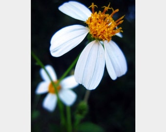 Macro Floral Art, White Bidens Photo, Black Orange Art, Flower Photograph, Wildflower Photo, Nature Photo, Orange Stamen, Bold Flower Art