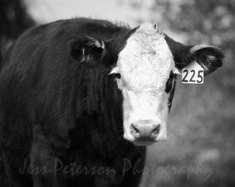 Cow photographs- Black and White Cow print. Country farm animal photography, Nursery art. nature wall art. Rustic home Decor. 8x10, 5x7,