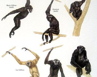Apes Black Gibbon, Hoolock, Lar Gibbon, Siamang Vintage 1980s Bird Book Plate Page