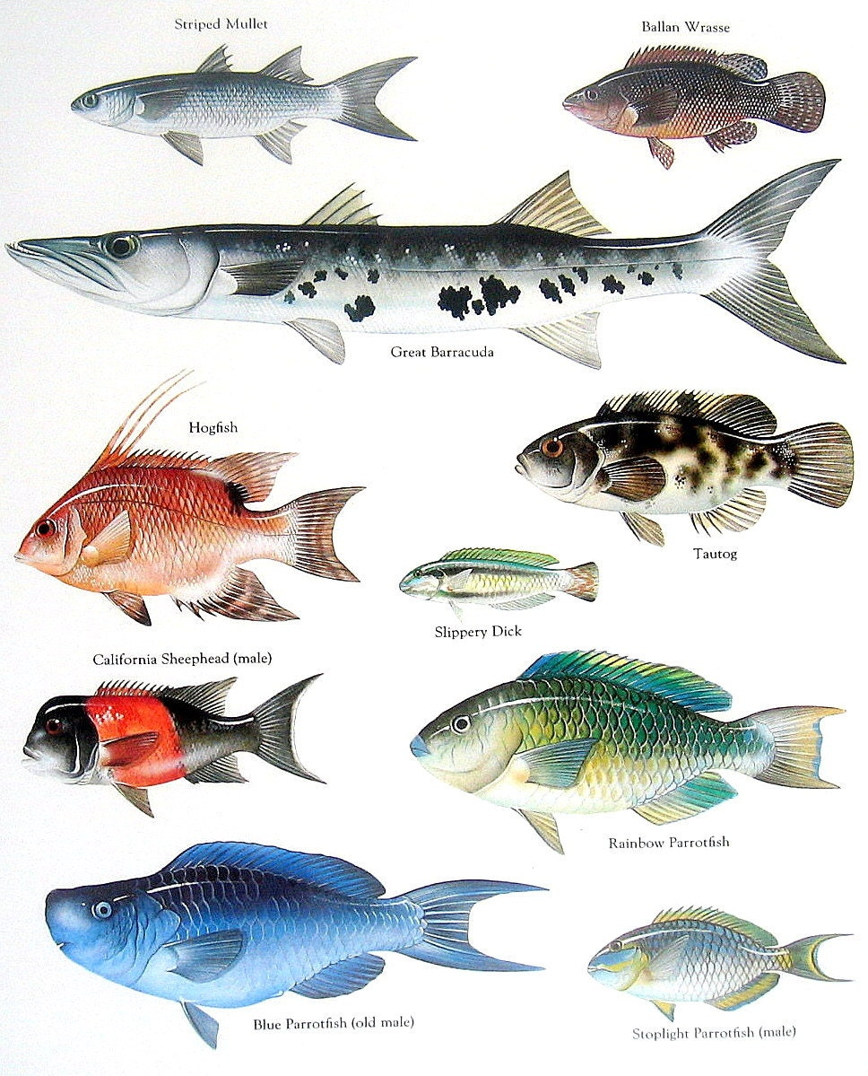 Great barracuda drawing images for Fish pictures to print