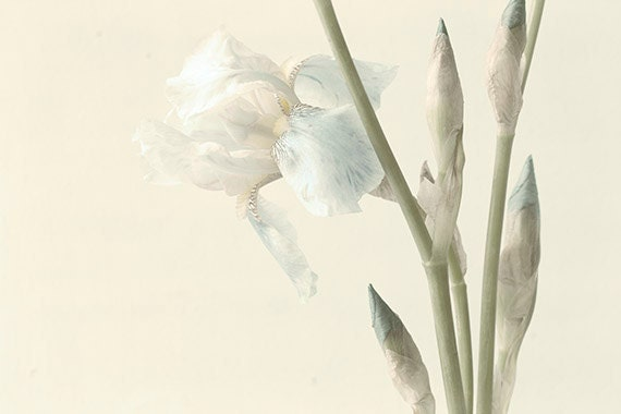 White Iris Photograph,  Sepia Toned Photograph, Vintage Inspired  Botanical Art Print, Shabby Chic Home