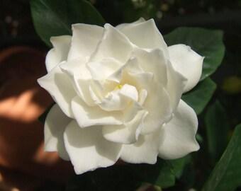2 oz Gardenia Fragrance Oil
