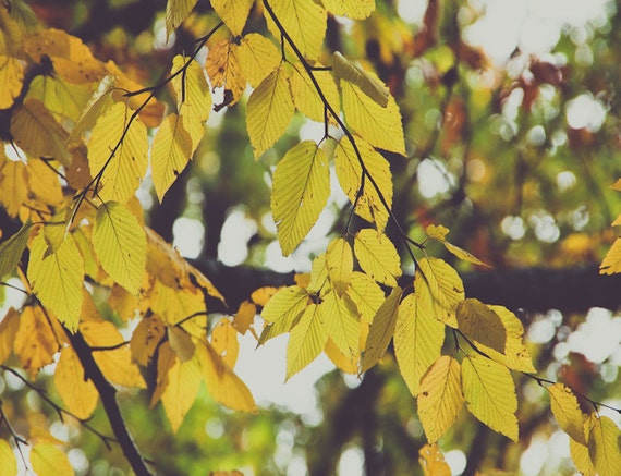 Soft Yellow Leaves Fine Art Print - Nature, Botanical, Wildlife, Garden, Nursery Decor, Home Decor, Baby, Zen, Gift