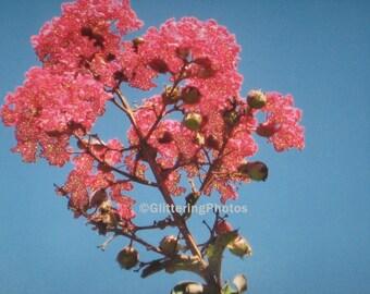 Pink, Crape Myrtle, Fine Art, Photograph, Print, Glossy, 8 x 10, OOAK