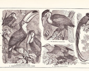 1902 Bird Print - Tropical Birds - Vintage Antique Home Decor Art Illustration for Framing 100 Years Old