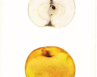 1905 Fruit Print - Swaar Apple - Vintage Home Kitchen Food Decor Plate Plant Art Illustration Great for Framing 100 Years Old