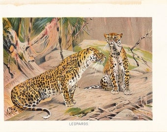 1901 Animal Print - Leopards - Vintage Antique Book Plate for Natural Science or History Lover Great for Framing 100 Years Old