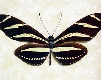 Real Framed Zebra Longwing Heliconius Charithonia Florida State Butterfly 8079
