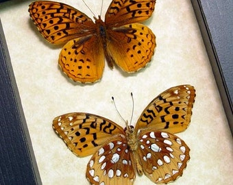 The Great Spangled Fritillary Speyeria Cybele Pair Real Framed Butterflies 8095P