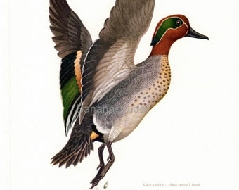 1962 German Vintage Print of the Common Teal