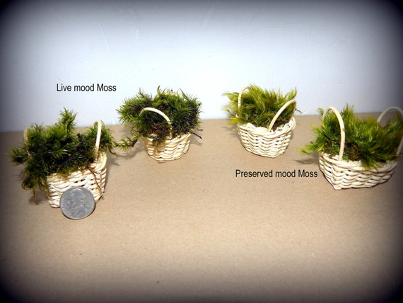 2 Miniature Willow Baskets filled with moss-Choose preserved or live Moss