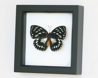Real Framed Butterfly African Queen with Gift box