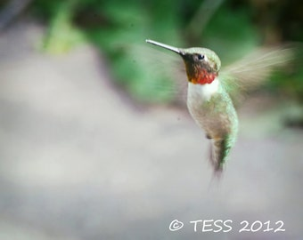 Hummingbird Photography Print -  Bird Photography- Nature print