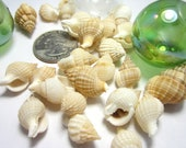 "Seashells for Beach Decor -  Reticulata Shells for Nautical Decor and Crafts - 3x4"" bag, Tan"