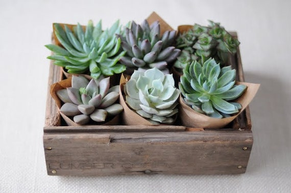 Succulent Centerpiece, Rustic, Great For Weddings, Cocktail Parties And Other Special Events, Housewarming Gift