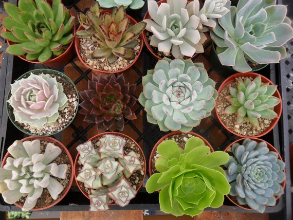 RESERVED For Stephanie, A Collection Of 7 LARGE Succulent Plants Per Our Convo