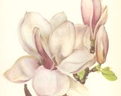Vintage Flower Print, Magnolia, Botanical Plant (67) Natural History, Blossom Art, 1970