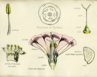 Convulvulus, Antique Botanical Print, 1874, Plate 59, Natural History, Vegetable Kingdom, Hand Colored or Black/White