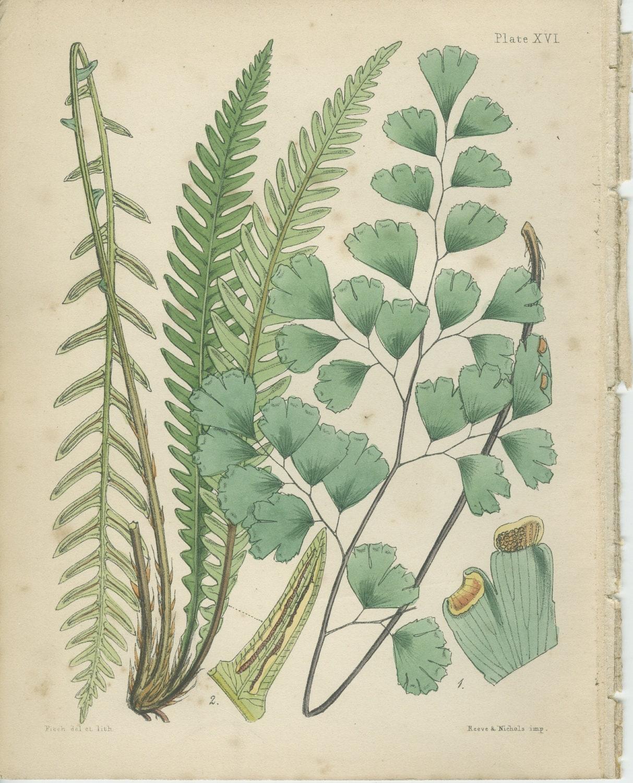 Maidenhair Fern Print Reproduction Antique Botanical 16