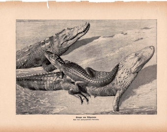 1900 ALLIGATOR print original antique animal reptile lithograph