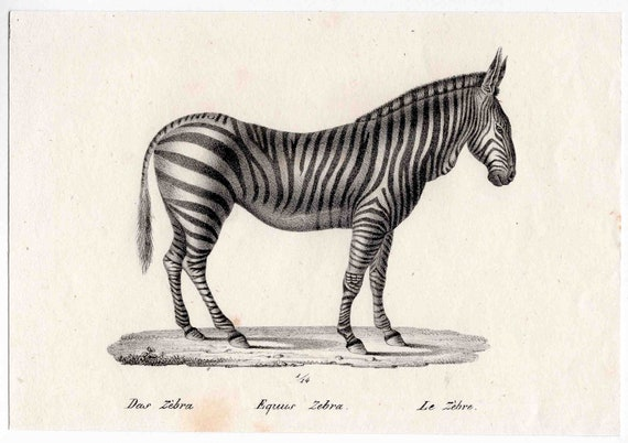 1824 zebra original antique safari print