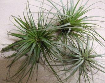 AIR PLANT  Tillandsia Epiphyte