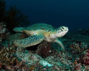 Sea Turtle Art Underwater Photography Nautical Decor Sea Turtle Decor
