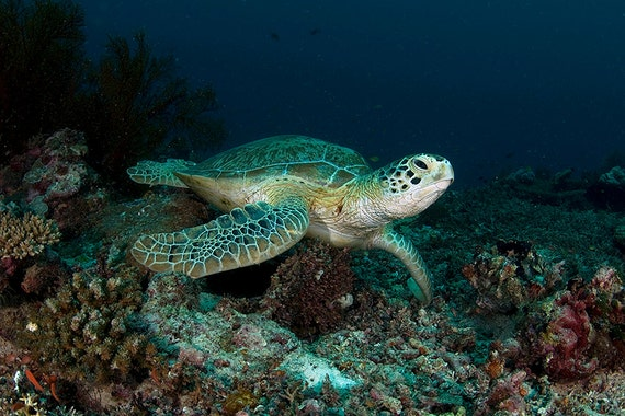 Sea Turtle Art Underwater Photography Nautical Decor Sea Turtle Decor