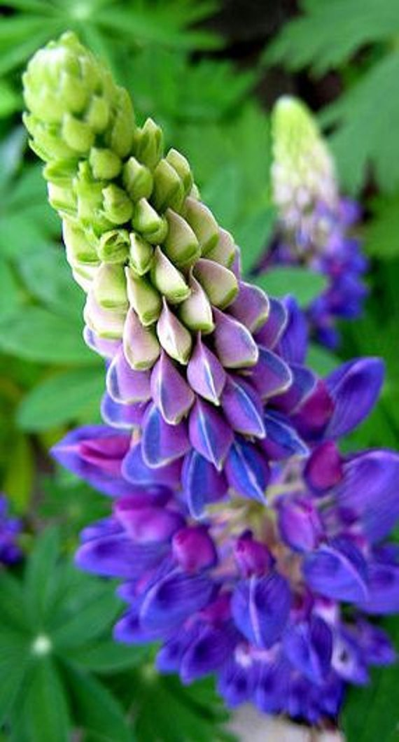 Lupine, Blue Lupine Seeds