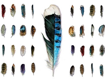 Feather Watercolors 16 Original Feather Studies - A Naturalist's Collection