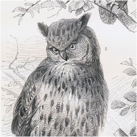 1908 Edwardian OWL print, various owls, old zoological lithograph