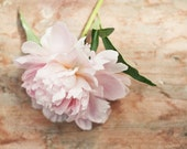 Peony photograph - fine art photography print -  vintage wodden soft feminine green cream beige pale pink peach spring photo