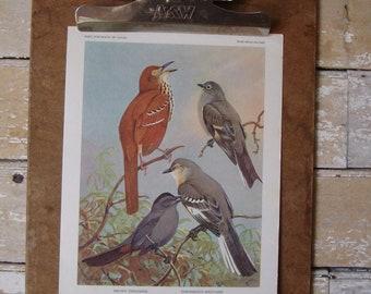 Vintage Thrasher Mockingbird Catbird  Print  Artist Allan Brooks 1960