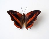 Real Butterfly Specimen Unmounted Ready Spread, Western Red Charaxes