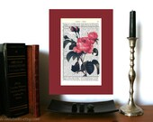 Pink Roses Plant Print No. 2 Vintage Art Print on Antique 1896 Dictionary Book Page