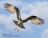 Osprey in Flight - 8 x 10 or 11 x 14 Photograph