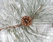 Frosted Winter Pinecone  (8x10)