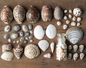 Vintage Seashell Collection - Natural History Decor, Curiosity Cabinet Specimens, Lot of over 50 Shells