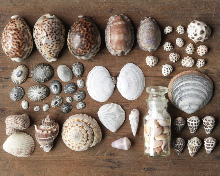 sea shell collecting tools vintage seashell collection history decor curiosity