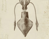 Humboldt Squid on French Ephemera Print 8x10 P193