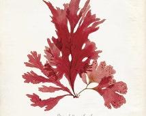Vintage Ocean Kelp Seaweed Print 8x10 P210