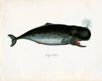 Vintage Mammal Buffon Whale Print 8x10 P219
