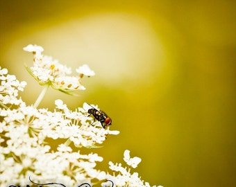 Shew Fly Fine Art Photograph, Insect Photography, Maco Photography, Fly, Queen Ann's Lace