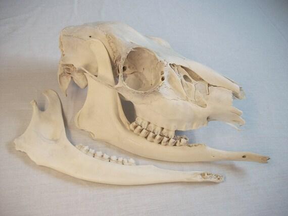 Whitetail Doe Skull