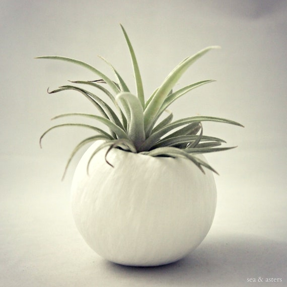 Single Harrisii Air Plant  Container Pod - White // Planter // Home and Garden // Gifts under 20