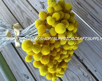 "Craspedia - Billy Balls - Billy Buttons  -- set of 12  -- Preserved  -- 8"" long"