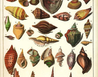 SHELLS Art Print Frameable Original 2009 Book Plate 204 Beautiful Shell Snails French Antique Copper Engraved Plates