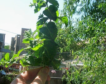 Ready to ship, Organic Mint, 4 Live Plants, Herb for Tea or Garden. Relaxation, Healthy Living