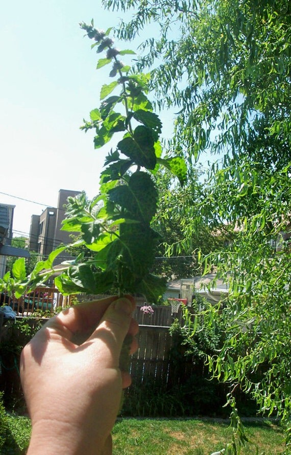 Organic Mint, 4 Live Plants, Herb for Tea or Garden. Relaxation, Healthy Living