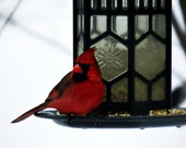 Cardinal Bird Photography Red,Gifts under 25,male,winter,closeup,woodland,bird lovers gift idea,nature decor,scarlet,male cardinal in winter